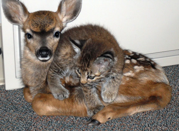 rescued bobcat and doe friends