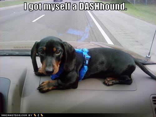 dachshund dashhound puppy