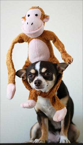 chihuahua dog stuffed monkey