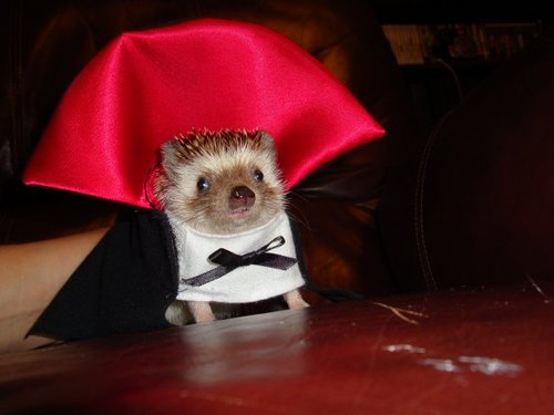 hedgehog in  vampire halloween costume cute